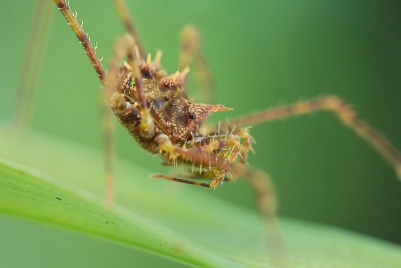 Mossy harvestman (Podoctidae)