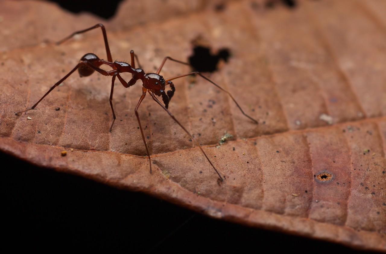 Ant-mimicking sac spider (Myrmecium sp.)