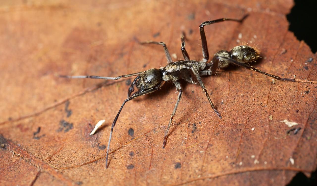 Ant-mimicking sac spider (Sphecotypus niger)