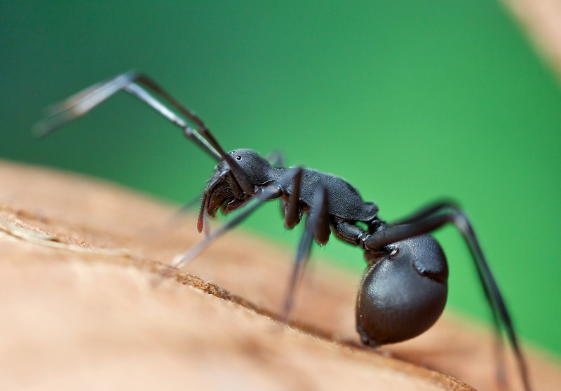 Polyrhachis ant-mimicking sac spider (Clubionidae)