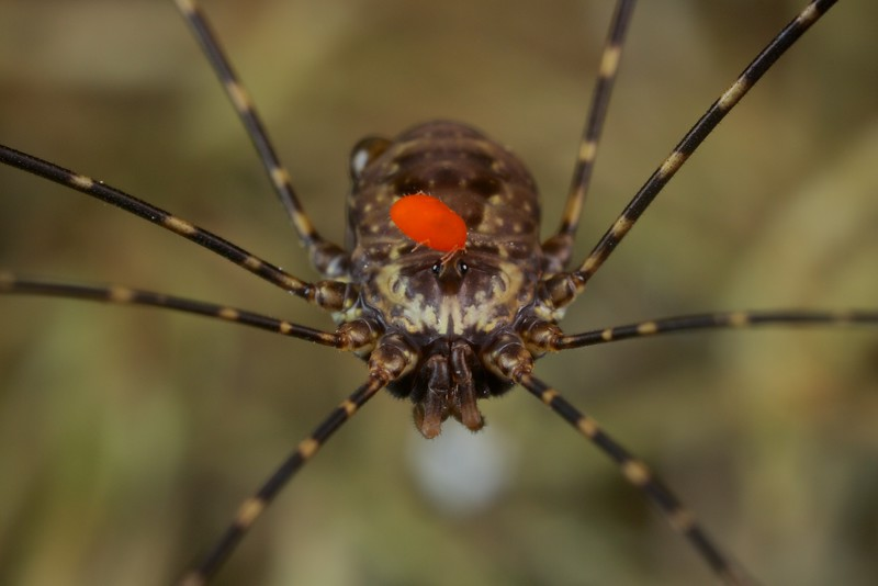 Harvestman with phoretic mite
