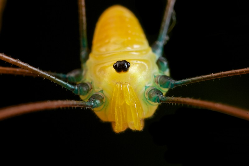 Yellow montane harvestman