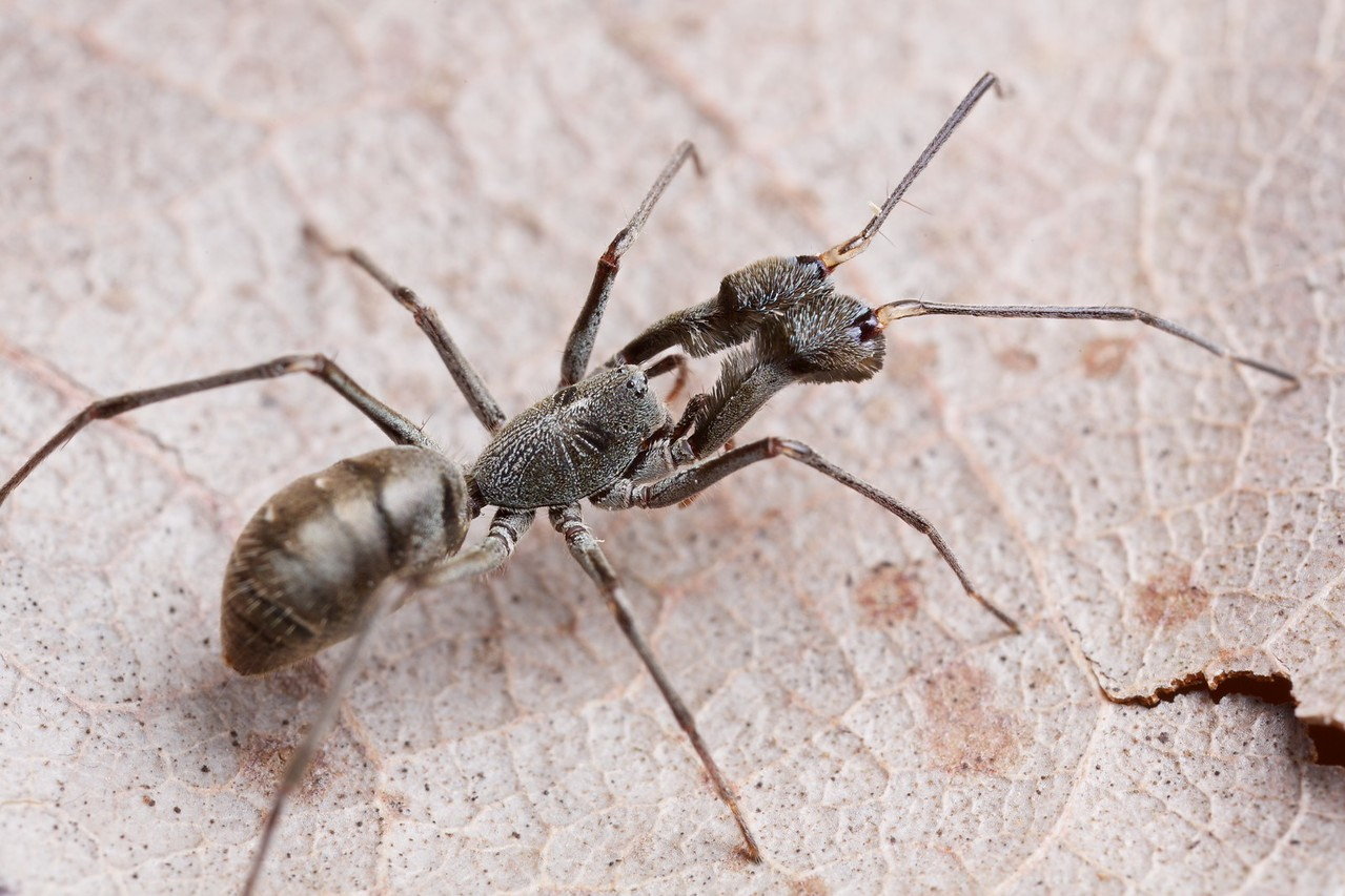 Ant-mimicking corinnid spider (Pranburia manahoppi)