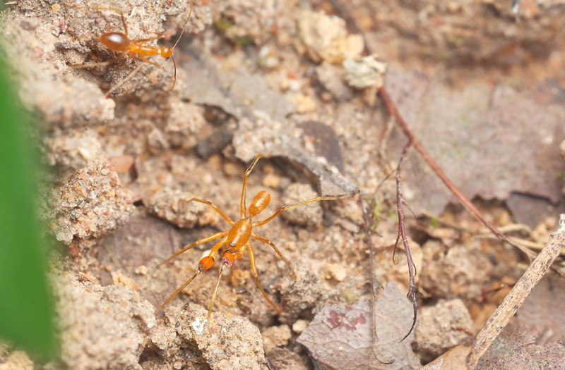 Crazy ant model and ant-mimicking spider (Pranburia sp.)