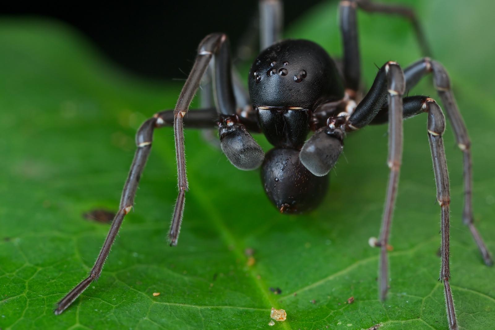Ant-mimicking ground spider (Zodariidae) with prey