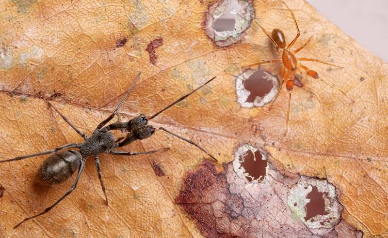 Ant-mimicking corinnid spider (Pranburia manahoppi) and orange Pranburia sp.