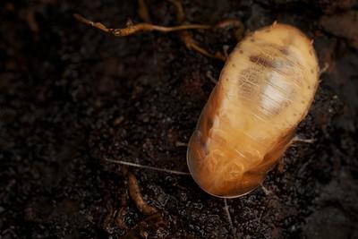 Translucent cockroach