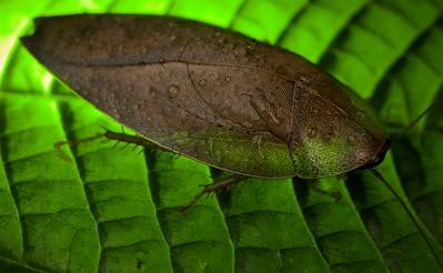 Leaf cockroach on backlit leaf