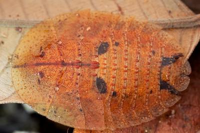 Leaf cockroach