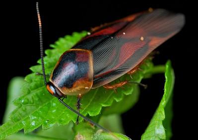 Cockroach (Eustegasta sp.?)