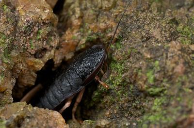 Black armoured cockroach