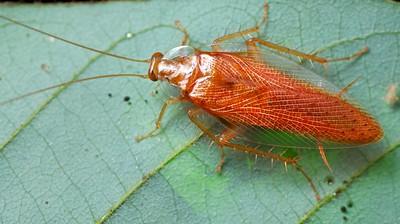 Orange cockroach