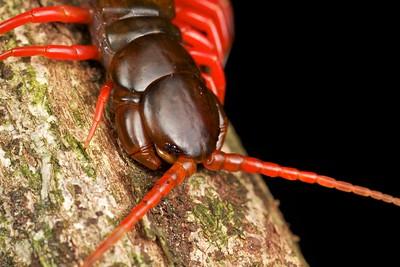 Hunting centipede (Scolopendra)