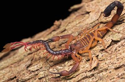 Scorpion (Babycurus gigas) eating scolopendra prey (Alipes sp.)