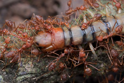 Weaver ants (Oecophylla smaragdina) with scolopendra prey