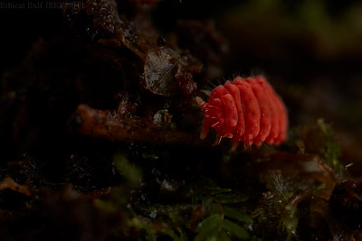 Red poduromorph springtail (Neanuridae)
