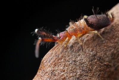 Springtail (Callyntrurini)