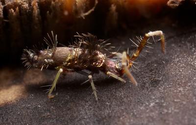 Hairy springtail