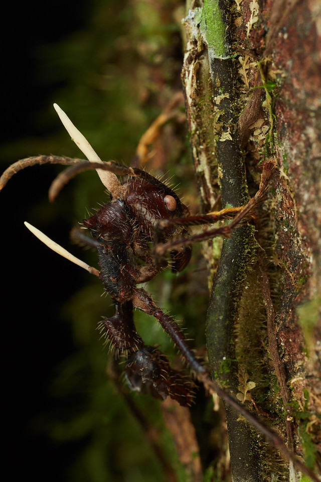 Bullet ant with cordyceps infection
