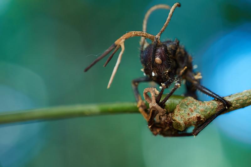 Bullet ant (Paraponera clavata) infected with cordyceps fungus (Ophiocordyceps ponerianum)
