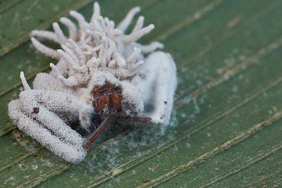 Ctenid spider with cordyceps infection
