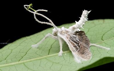 Moth infected with Cordyceps fungus (Cordyceps tuberculata)