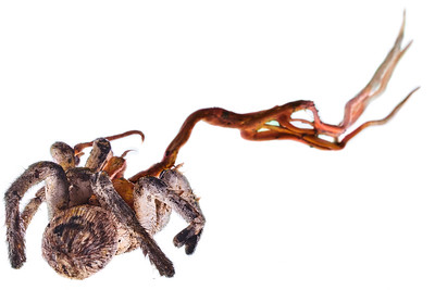 Trapdoor spider with cordyceps infection (Ophiocordyceps caloceroides)