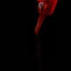 Cordyceps fruiting body