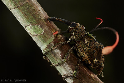 Weevil with cordyceps infection (Ophiocordyceps curculionum)
