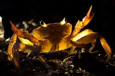 Backlit crab
