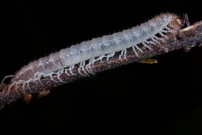 White millipede