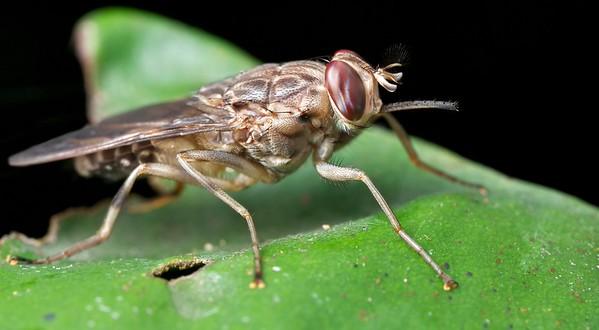 Tsetse fly (Glossina sp.)