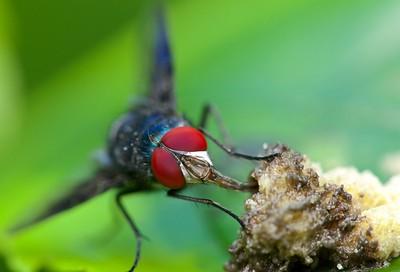 Fly feeding on detritus