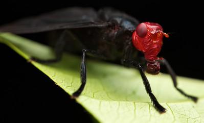 Red-headed fly (Bromophila caffra)