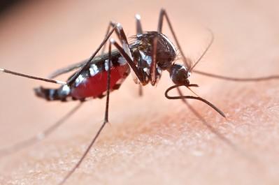 Mosquito (Aedes aegypti) sucking blood
