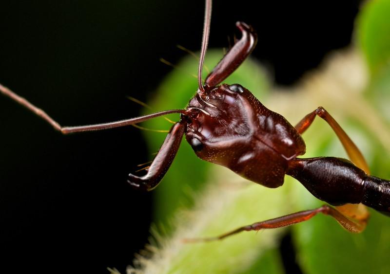 Trapjaw ant (Odontomachus sp.)
