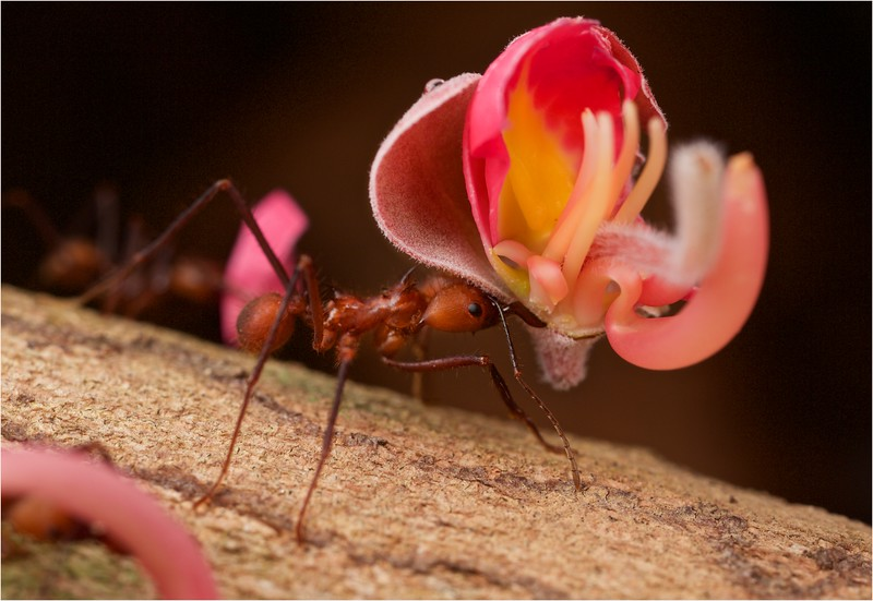 Leaf cutter ant carrying flower blossom