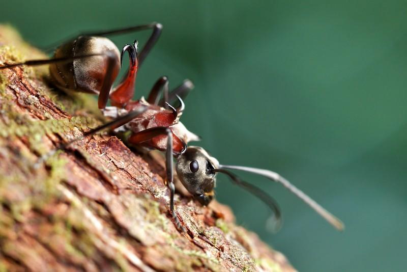 Fishhook ant (Polyrhachis bihamata)