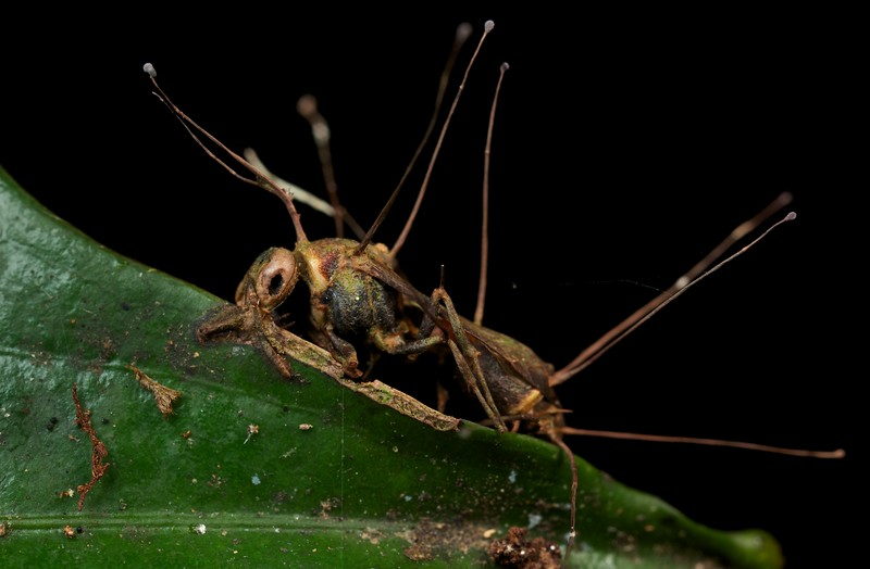 Empty husk of a cordyceps infected wasp