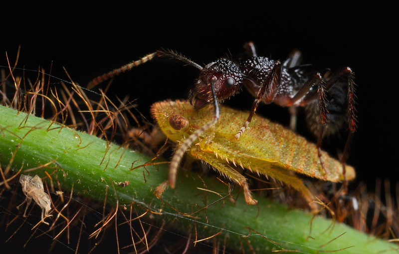 Ant coaxing honeydew from cicadellid