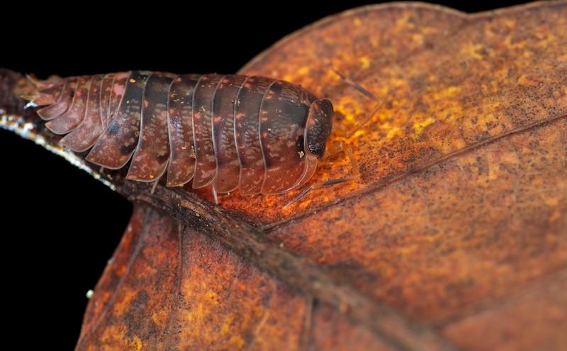 Orange sow bug