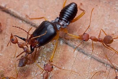 Weaver ant (Oecophylla smaragdina) battling termites (Macrotermes carbonarius)