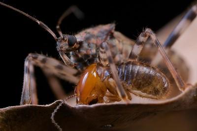 Assassin bug (Lisarda sp.) wth termite