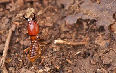 Soldier termite (Macrotermes sp.)