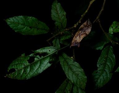 Dead leaf-mimicking moth (Eudocima sp.)