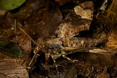 Fulvous Hawkmoth (Coelonia fulvinotata)
