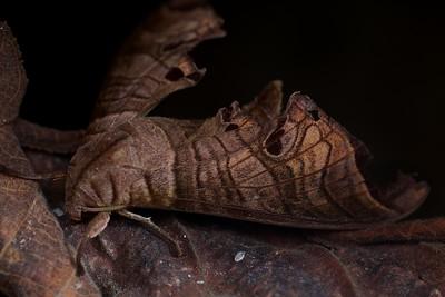 Camouflaged leaf hawkmoth (Marumba spectabilis)