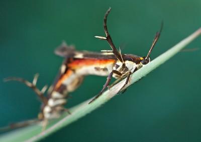Mating moths (Eretmocera sp.)