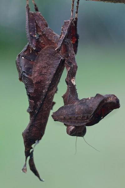 Dead-leaf mimicking mantis (Acanthops sp.)