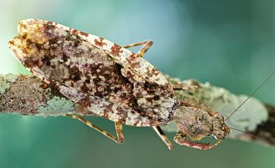 Bark mantis (Theopompella sp.)